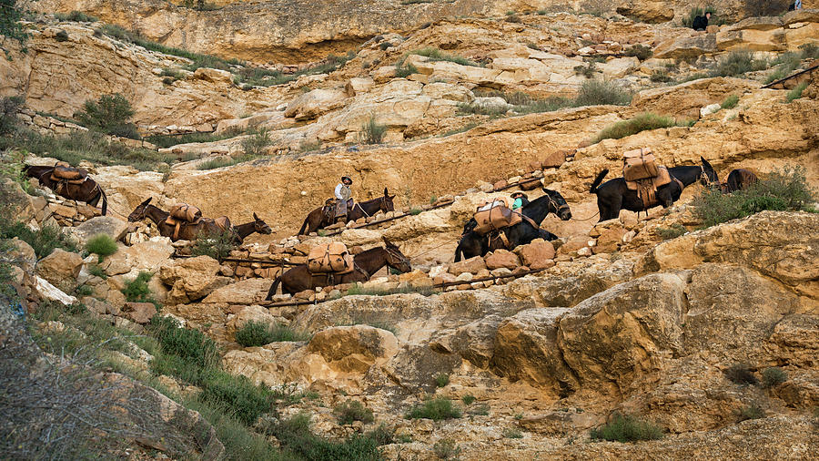 Mules In The Canyon by Andy Romanoff