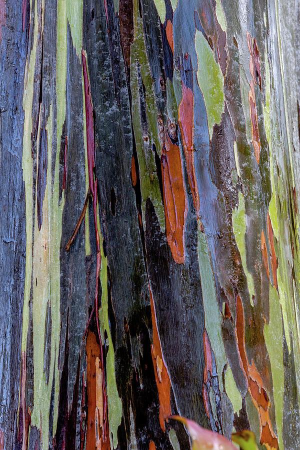 Multi Color Rainbow Eucalyptus Photograph By Alan Hart