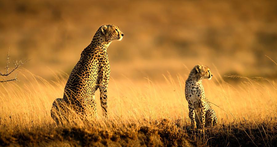 Cheetah Photograph - Mum And Son by Hung Tsui