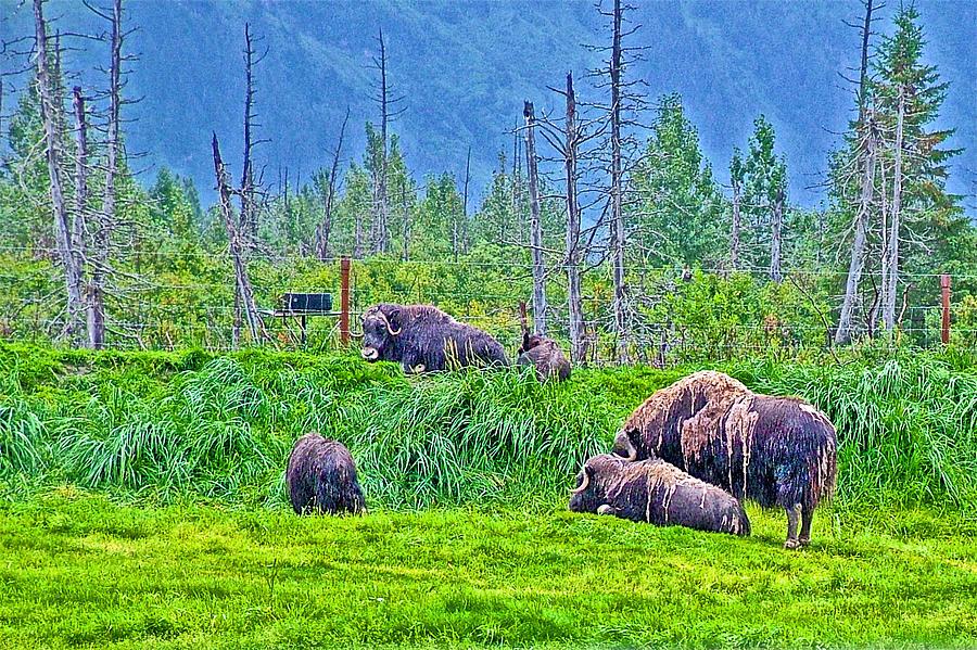 Musk Ox in Alaska Wildlife Conservation Center, Alaska ...