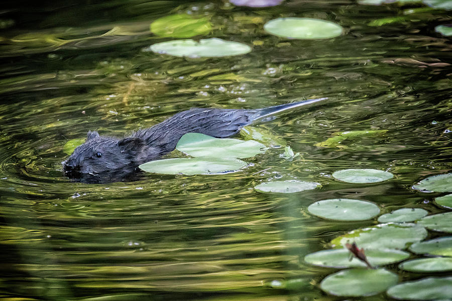 Muskrat Swimming by Lily Pads by Belinda Greb