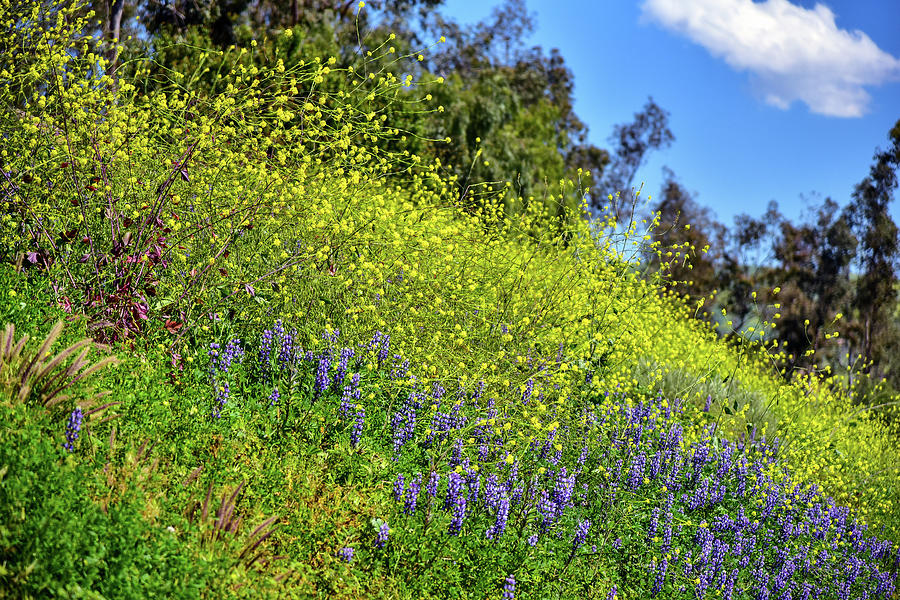 Mustard And Lupines 2 Photograph