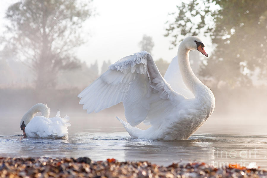 Love Photograph - Mute Swan Cygnus Olor Stretching On A by Kevin Day