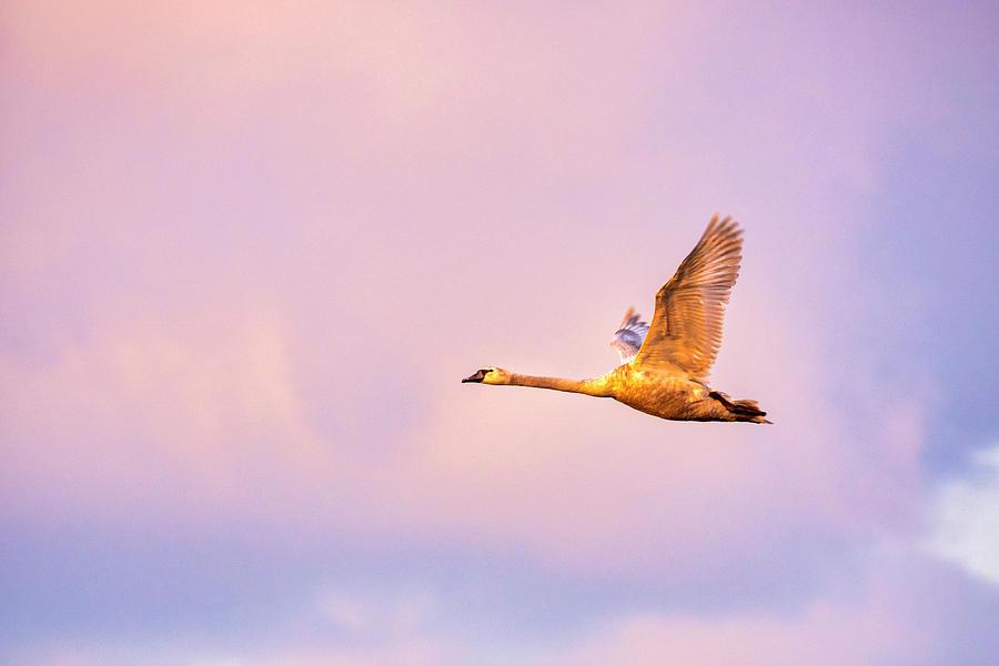 Mute Swan  by Fabrizio Troiani