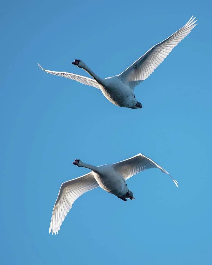 Mute Swans in Flight by Ken Stampfer