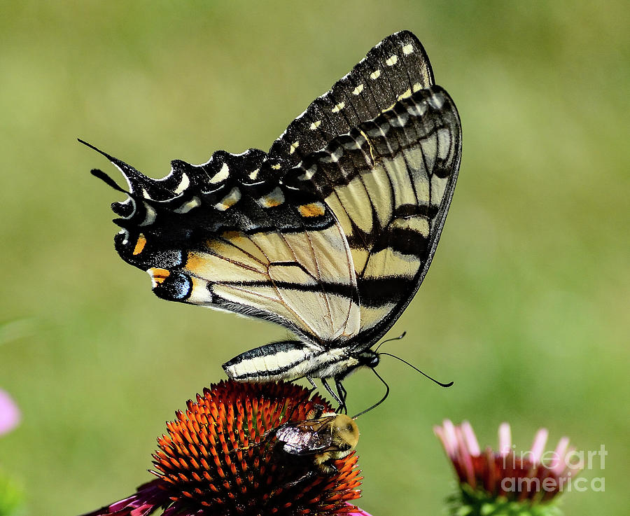 Mutual Attraction - Eastern Tiger Swallowtail And Bumble Bee Photograph