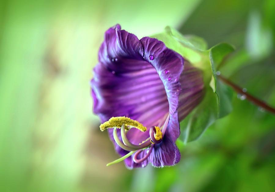 My Beautiful Purple Cobaea Scandens  by Johanna Hurmerinta