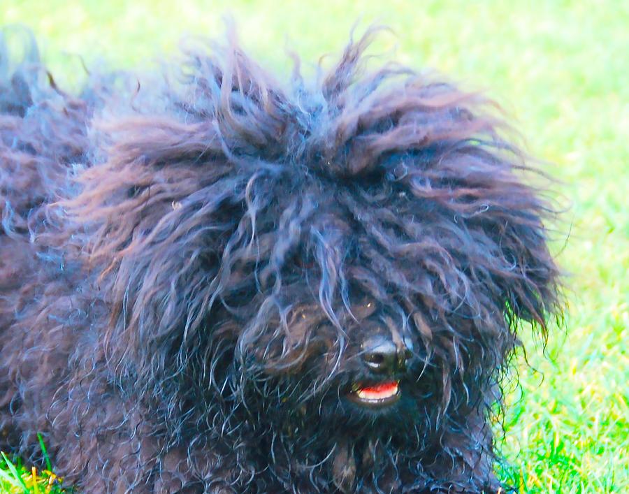 My Puli Dog by Dave Byrne