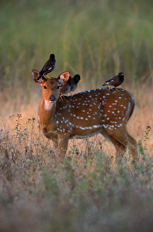 Myna Birds Sturnidae Sp. On Axis Deer Photograph by Art Wolfe