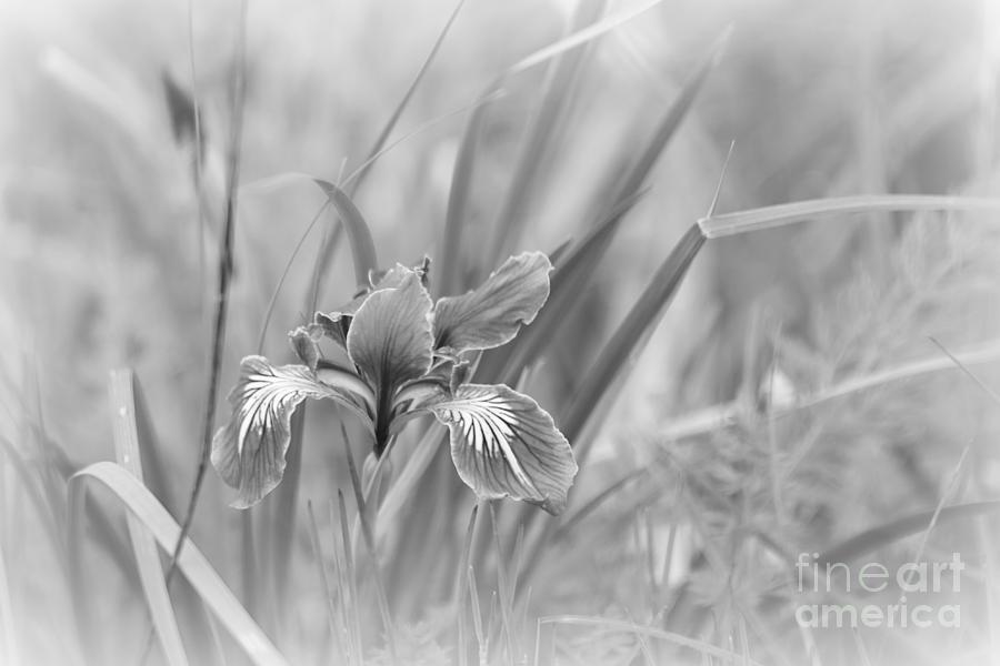 mystical iris by Sheila Ping