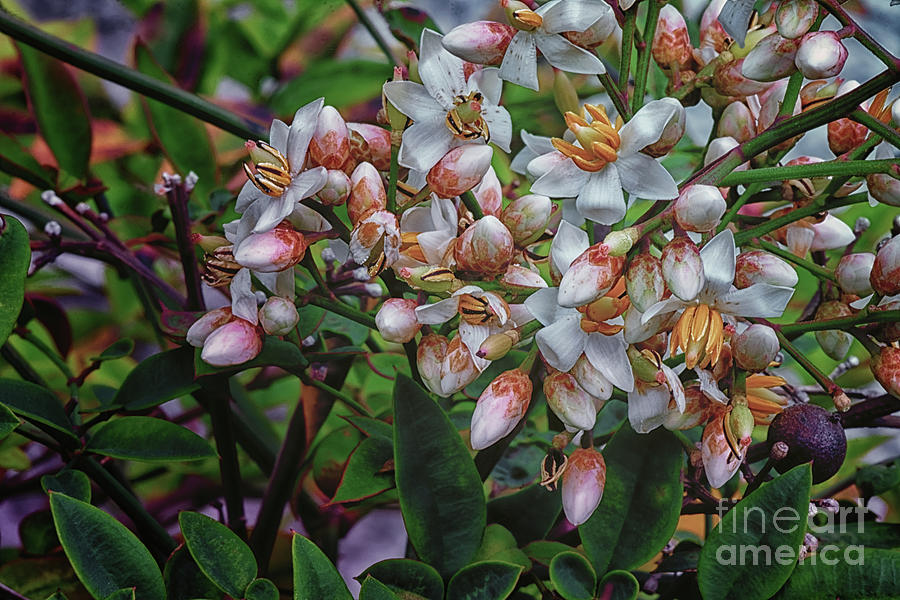 Nandina Blossoms - 1657-58-59 by Marvin Reinhart