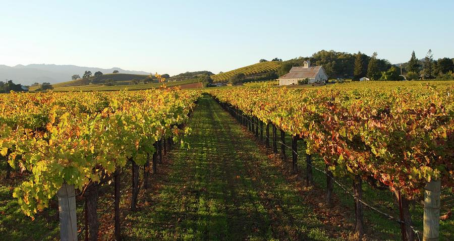 Napa Valley Vineyard In Autumn Photograph by Leezsnow