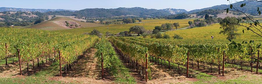 Napa Valley Vineyard Panorama Photograph by Leezsnow