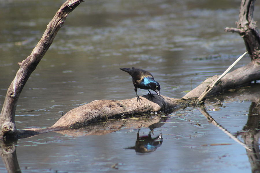 Common Grackle Photograph - Narcissus At The Pool by Callen Harty