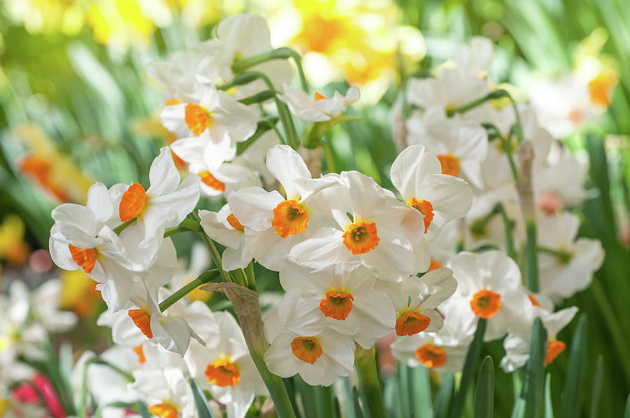 Narcissus Geranium by Jenny Rainbow