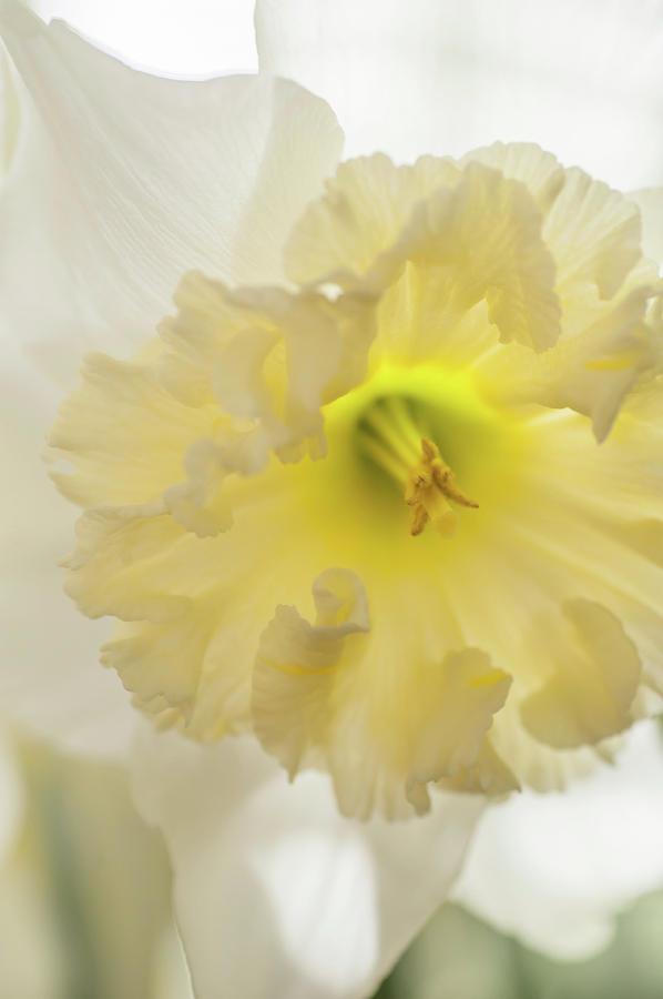 Narcissus Ice Follies Macro 1 by Jenny Rainbow