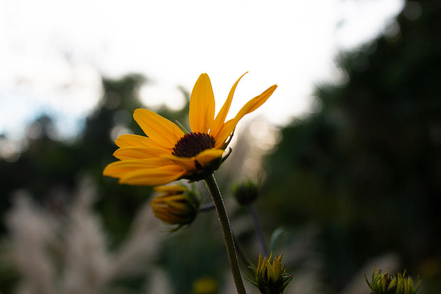Sunflower Photograph - Narrowleaf Sunflower 2 by Christine Buckley