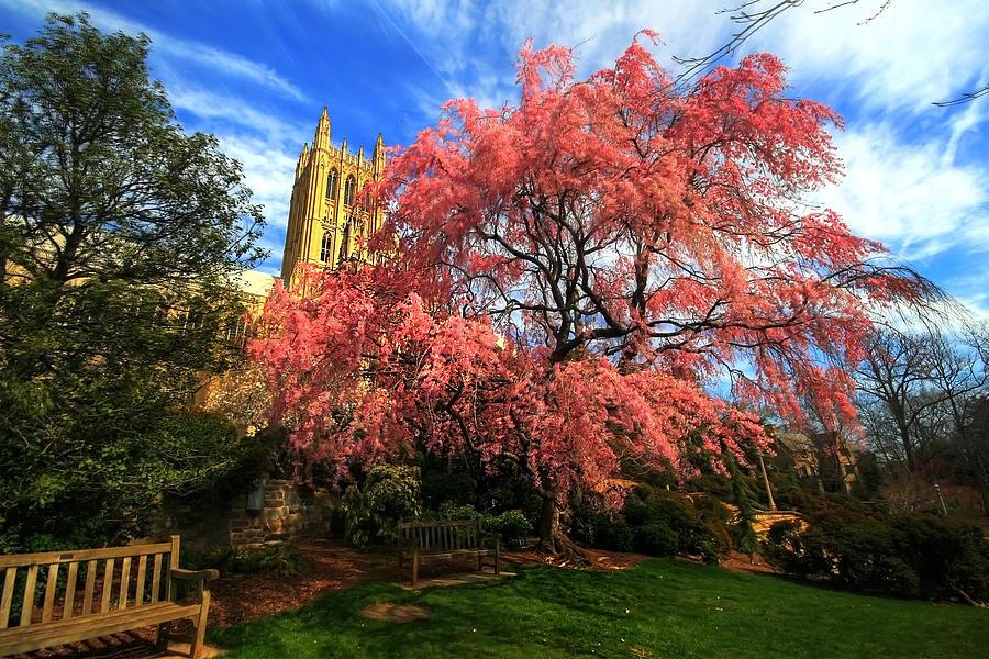 National Cathedral Blossoms Photograph by L. Toshio Kishiyama