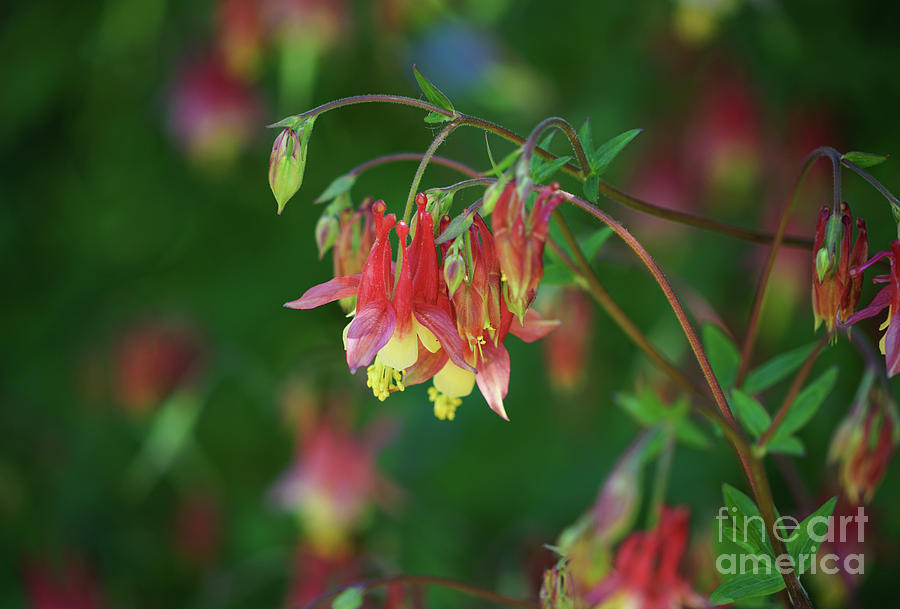 Native Columbine by Rachel Cohen