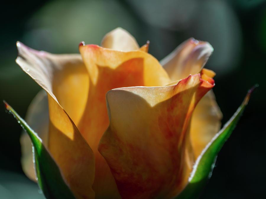 Aesthetic Photograph - Nature - Amber Rose Vase Like by Arthur Babiarz