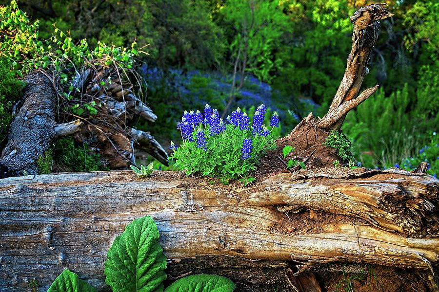 Bluebonnets Photograph - Nature Has A Way by Dave Files