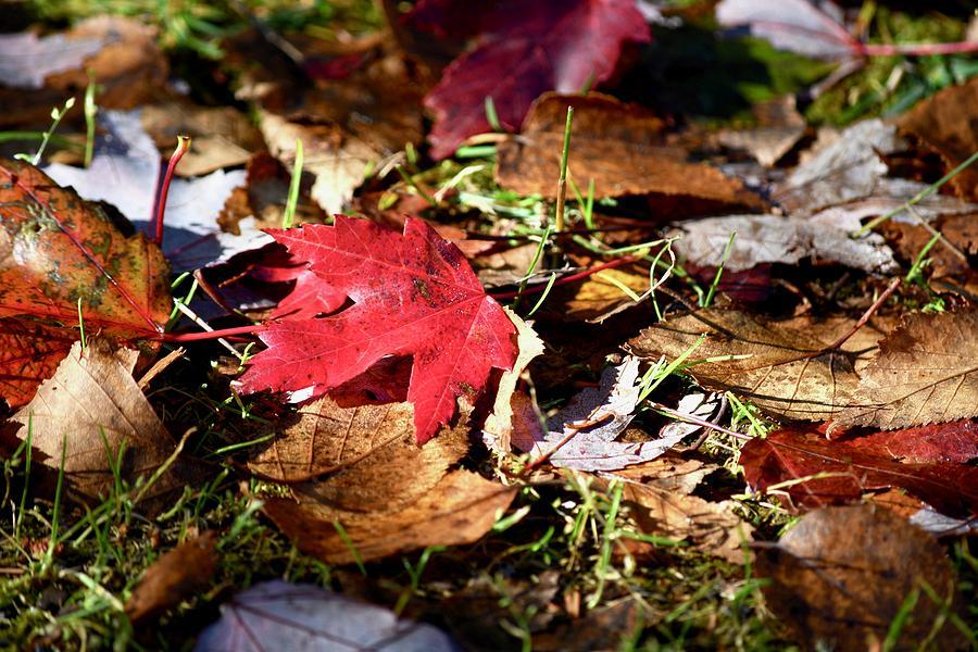 Natures Art in Maple Leaf by Hella Buchheim