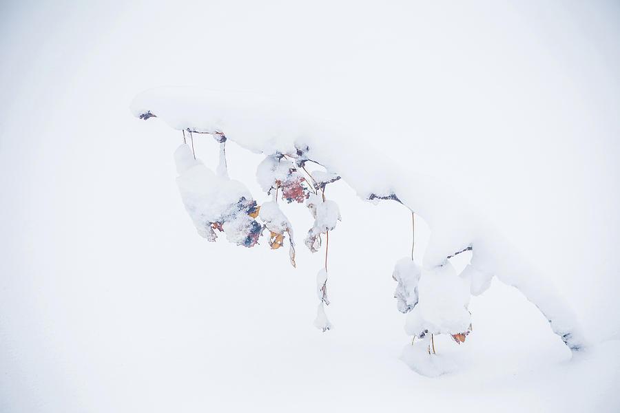 Snow Photograph - Natures Ornaments by Lauri Novak