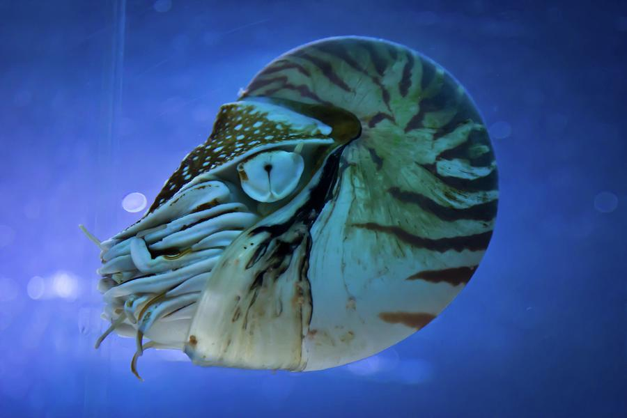 Nautilus Photograph by Www.victoriawlaka.com