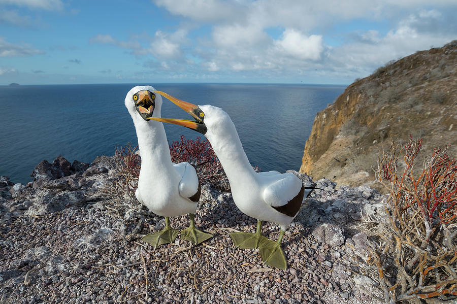 Nazca Booby Couple Courting Photograph by Tui De Roy