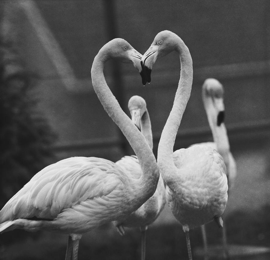 Necking Flamingoes Photograph by Derek Berwin