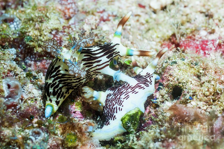 West Papua Photograph - Nembrotha Nudibranchs Mating by Georgette Douwma/science Photo Library