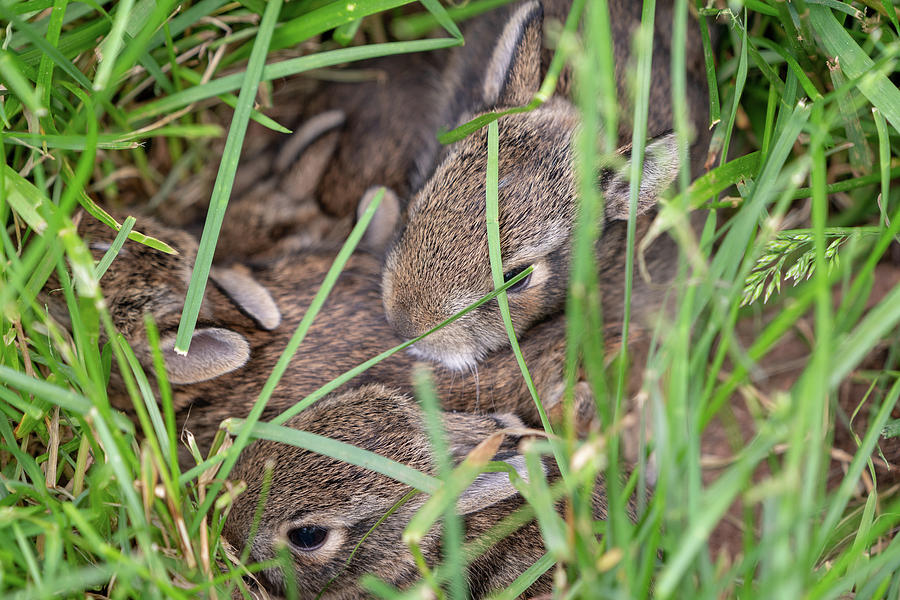 Nest of baby cottontail bunnies by Kyle Lee