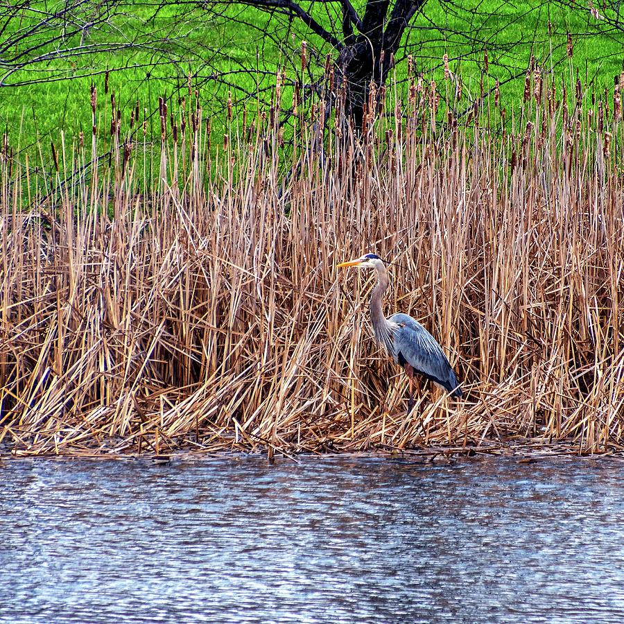 Nesting Great Blue Heron Photograph