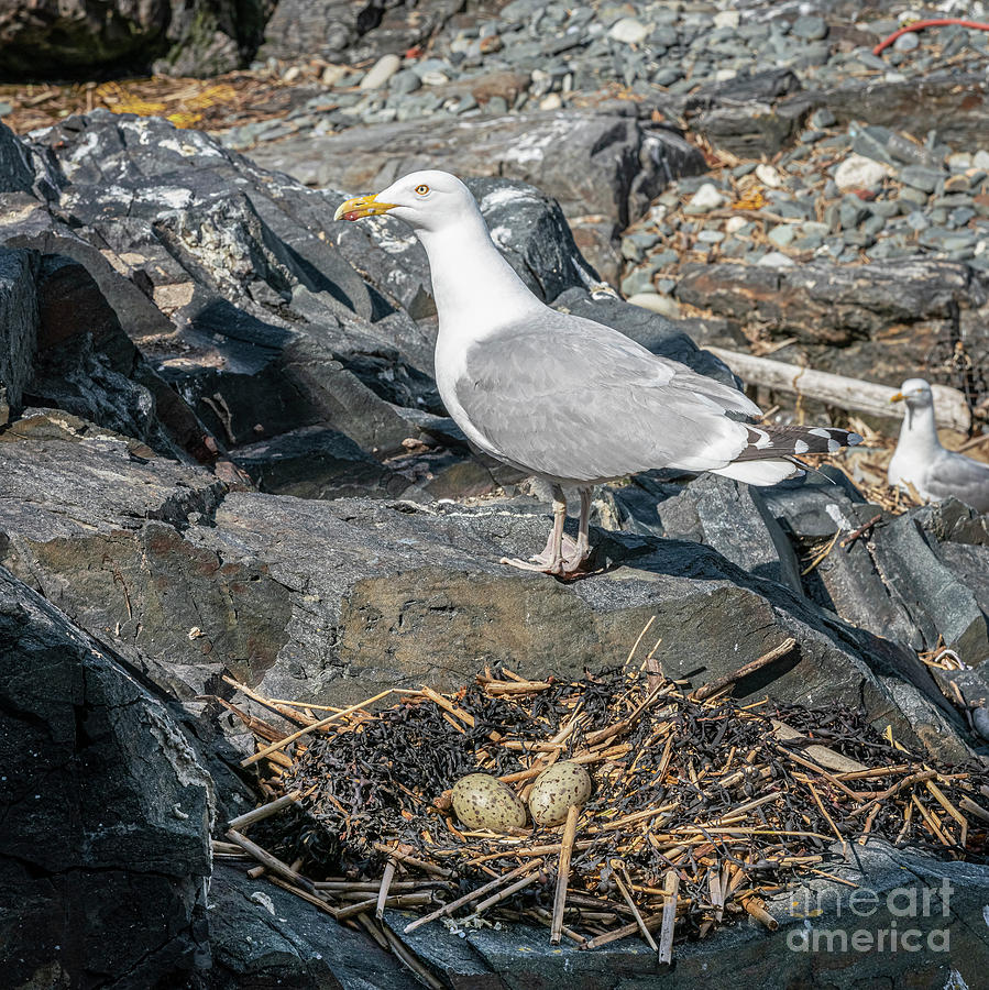 Nesting Gull at Halfway Rock in Casco Bay by Craig Shaknis