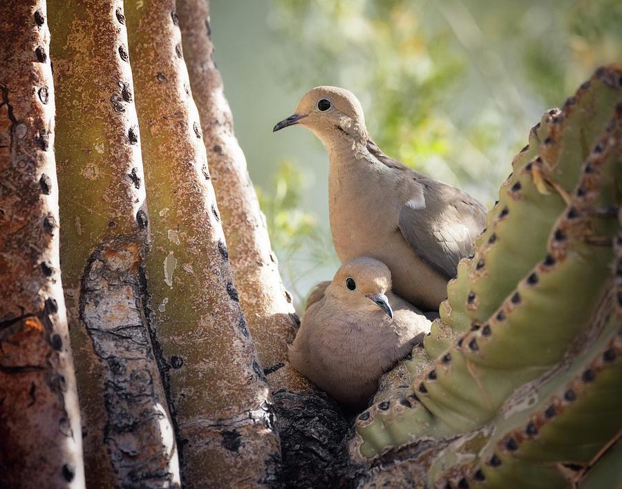 Nesting Morning Doves  by Saija Lehtonen