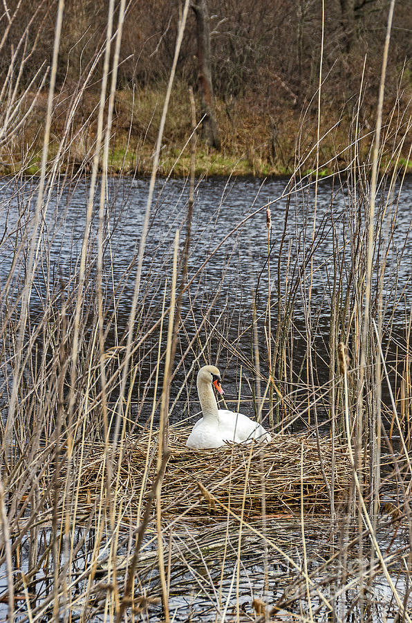 Nesting Mute Swan by Sue Smith
