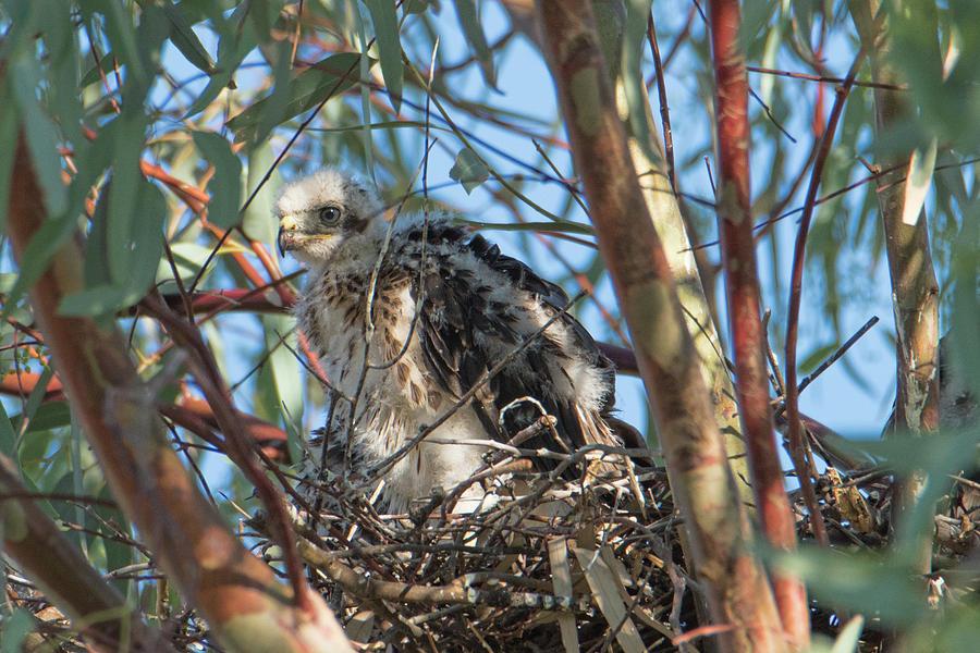 Nestling Hawk by Dan McManus