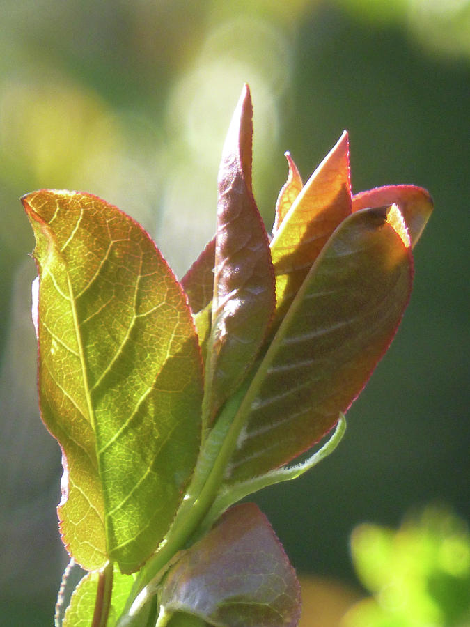 New Chokecherry Leaves by Cris Fulton