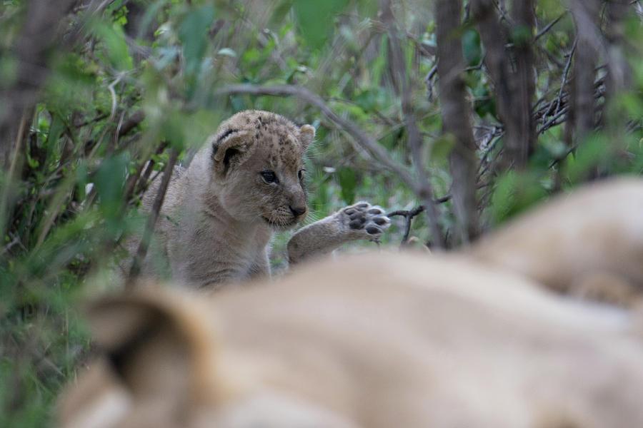 New Cub by Mark Hunter