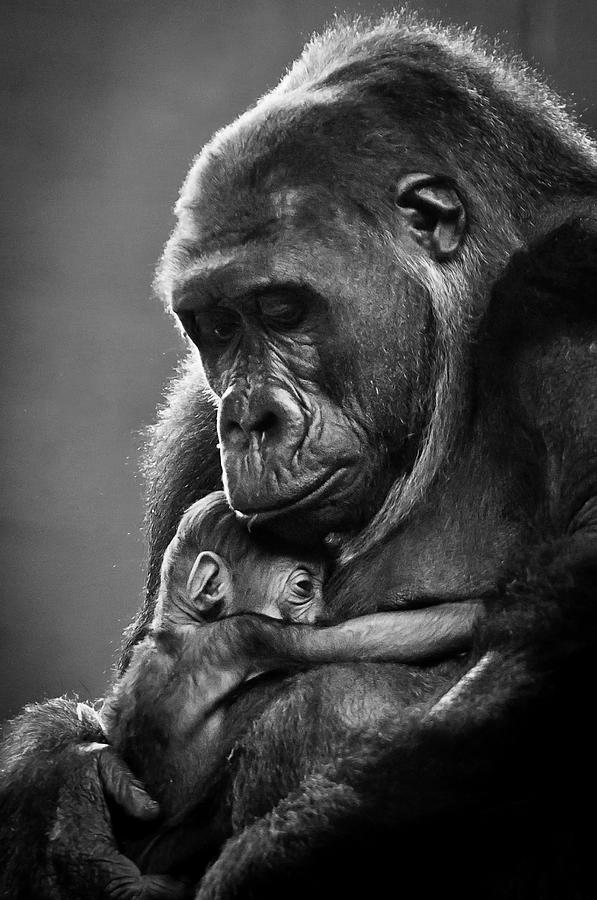 New Mother Gorilla Photograph by Raúl González Fernández