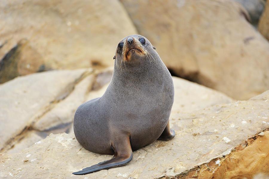 New Zealand Fur Seal, Arctocephalus Photograph by Raimund Linke