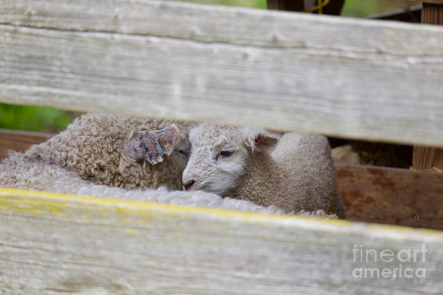 Newborn Lamb  by Rachel Morrison