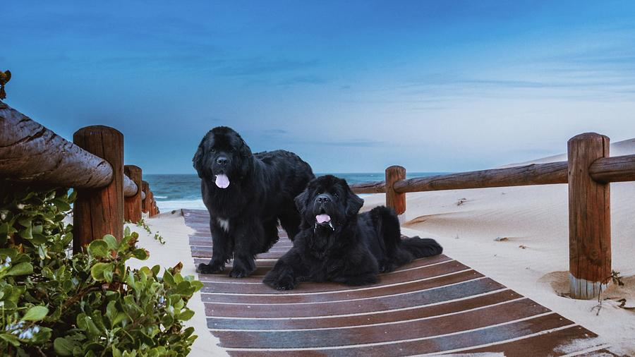 Newfies, Magnificent Water Dogs by Philip Bracco