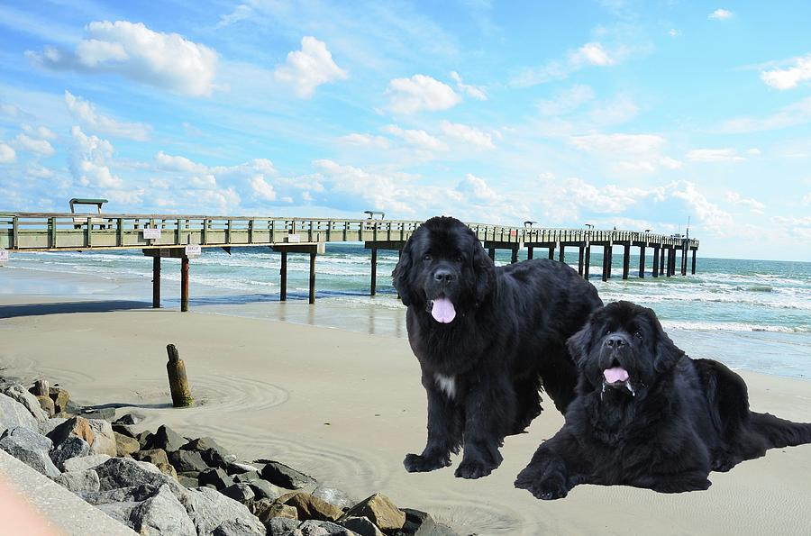 Newfies On St Augustine Beach by Philip Bracco