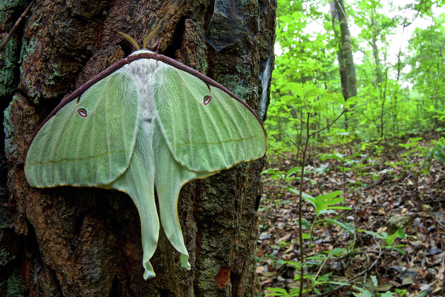 Newly Emerged Luna Moth Photograph by James Christensen
