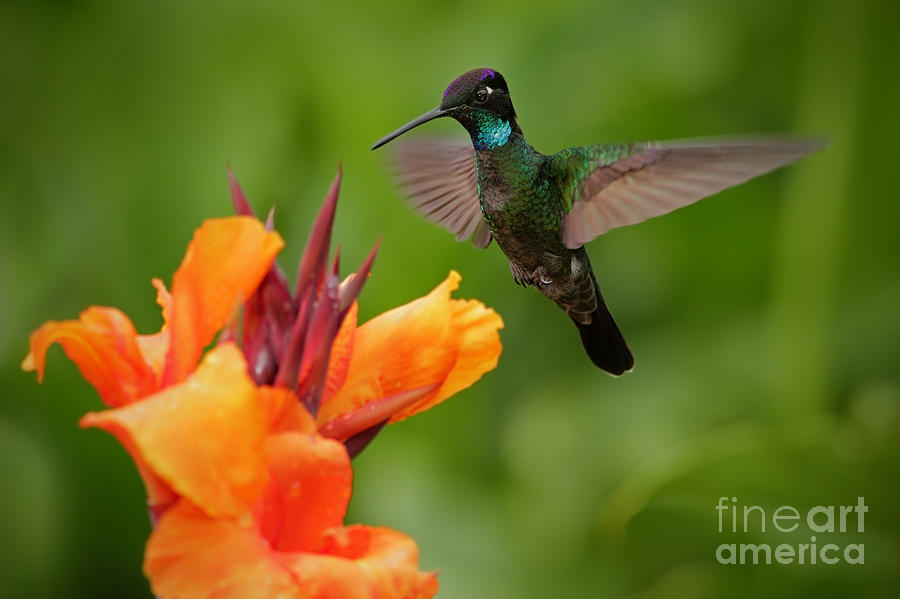 Small Photograph - Nice Hummingbird, Magnificent by Ondrej Prosicky