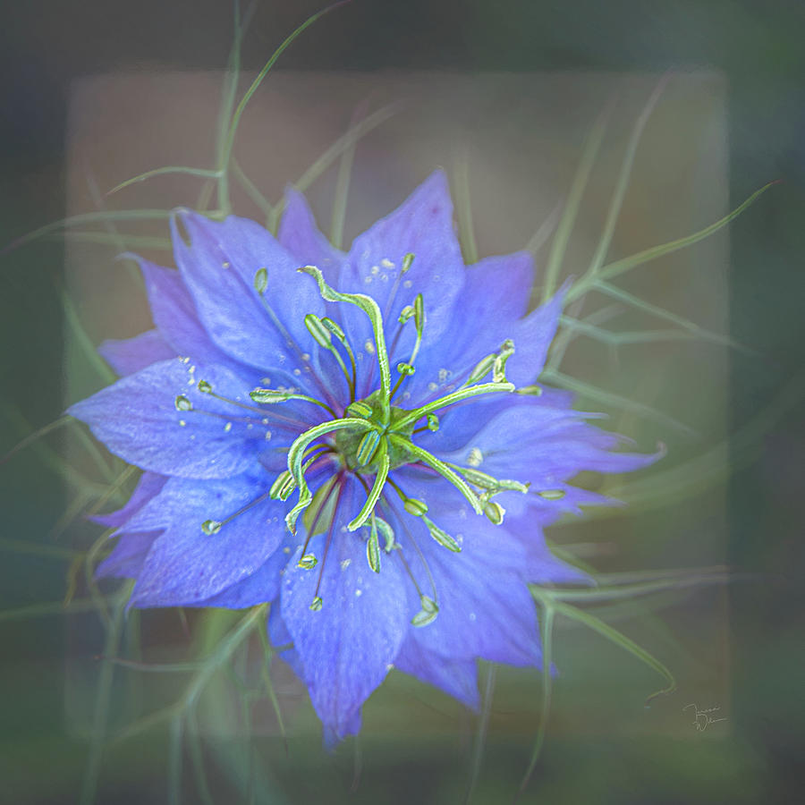 Nigella - Love-in-a-Mist Square by Teresa Wilson
