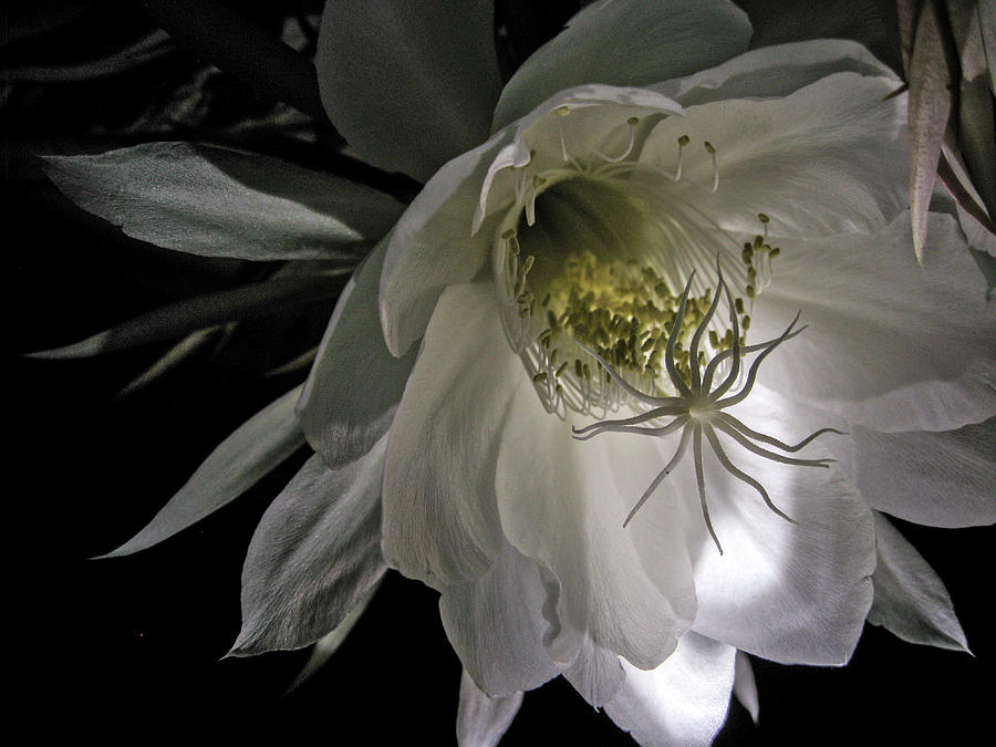 Night Blooming Cereus, 2 by Gerald Grow
