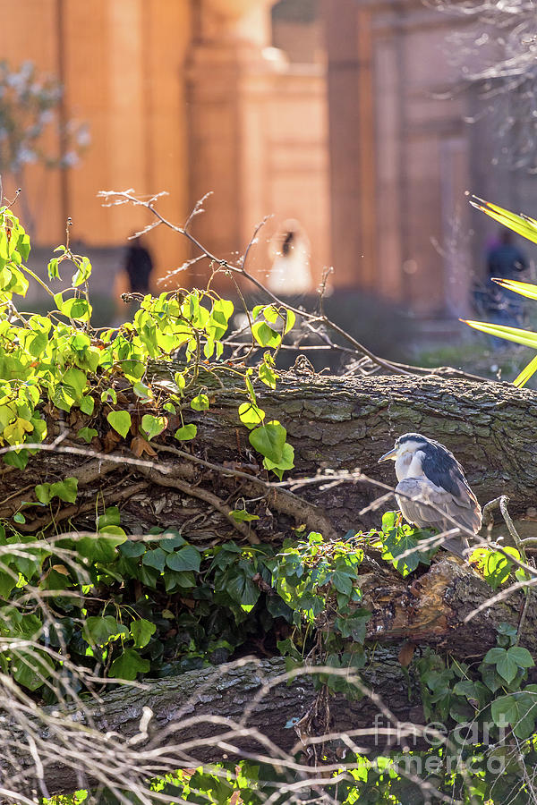 Night Heron at the Palace by Kate Brown