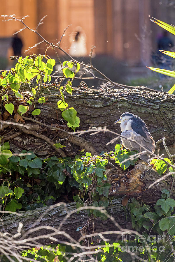 Night Heron at the Palace revisited by Kate Brown